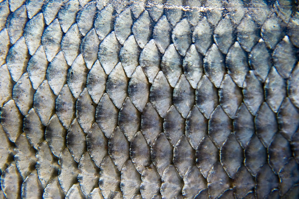 Tigerfish Scales